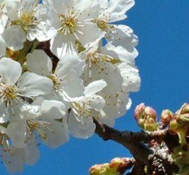 flors-cirerer-668x290